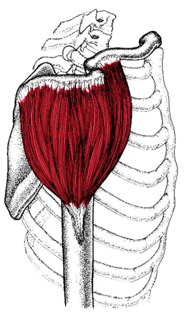 Muskelvækst 21
