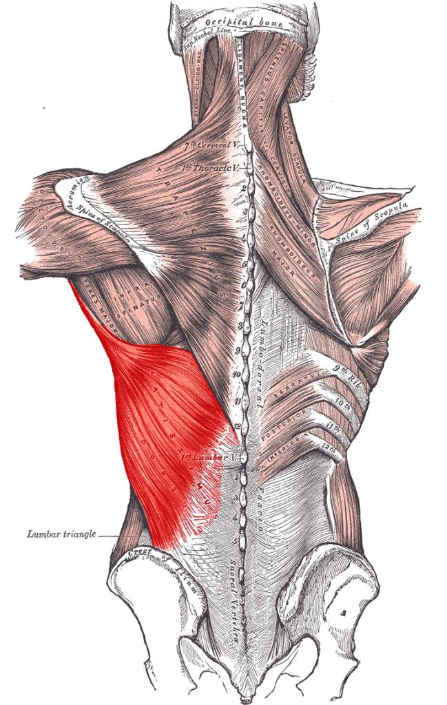 Muskelvækst 25