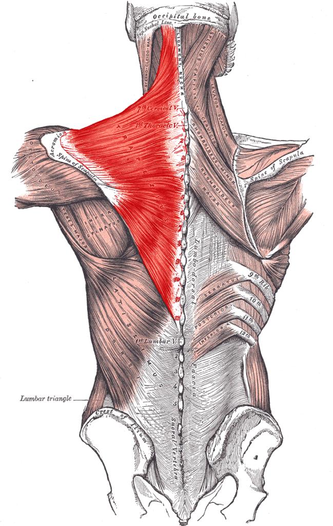 Muskelvækst 27