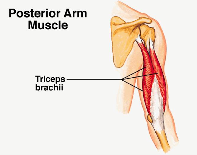 Muskelvækst 15